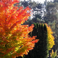 DSCF4340 (dmixo6) Tags: autumn trees colour nature beauty leaves maple muskoka dugg dmixo6