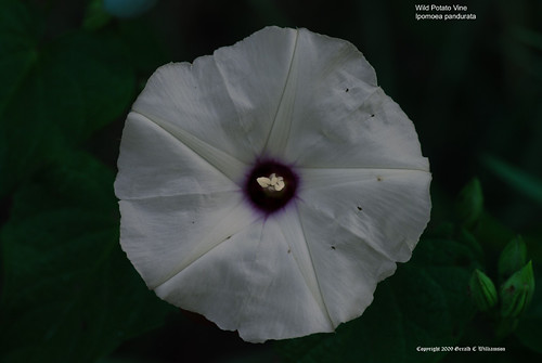 Wild Potato Vine, Man of the Earth - Ipomoea pandurata