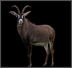 Male Roan Antelope (Steve Wilson - over 2 million views thank you) Tags: africa uk greatbritain england black male nature animal gardens blackbackground garden mammal zoo nikon cheshire britain african background wildlife great conservation chester antelope tropical savannah d200 captive subtropical grasslands roan captivity upton onblack chesterzoo zoological zoologicalgarden zoologicalgardens nikond200 hippotragus roanantelope equinus hippotragusequinus caughall mygearandme mygearandmepremium mygearandmebronze mygearandmesilver mygearandmegold mygearandmeplatinum mygearandmediamond musictomyeyeslevel1