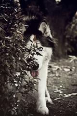 El Lobo (Jess Gutirrez Gmez) Tags: canon photography eos husky wolf colombia lobo siberian medelln antioquia fotografa siberiano 60d jesusgutierrezgomez