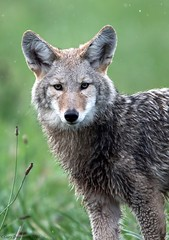 Wet Puppy (Garebear400) Tags: coyote wild nature wet rain animal canine nwr ridgefield coth specanimal d7000