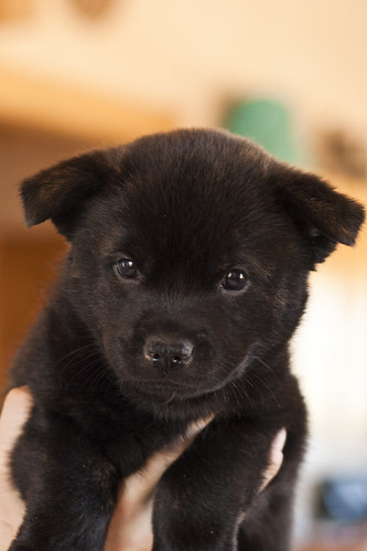 Kumi-Fall2011-Day40-Puppy3(Homer)-Male-a