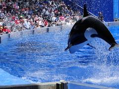 Jumping Orca (Nottarg) Tags: usa florida orca seaworld killerwhale shamushow