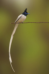 The Asian Paradise-flycatcher (Terpsiphone paradisi) (sharadagrawal931978) Tags: india bird nature birds june canon asian eos wildlife sigma os apo rajasthan udaipur dg flycatcher the sharad agrawal 2011 paradiseflycatcher terpsiphone hsm paradisi monarchidae 40d f563 150500mm