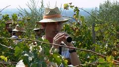 Grallers a les vinyes