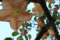 Flower (jkillart) Tags: life flower nature leaves branches hanging peachflower
