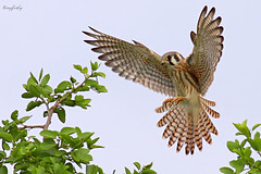 Kestrel Hunting (tinyfishy (Home again)) Tags: bird mexico inflight flight landing american raptor mazatlan kestrel