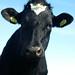 Cow-4781