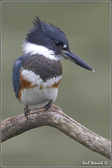 Belted Kingfisher (20100821-0902 (Earl Reinink) Tags: travel ontario canada bird art nature birds photography landscapes nikon flickr canadian niagara kingfisher earl bif bird nikon niagara photography birds nature ontario landscape fine earl peninsula flight lenses travel d3 kingfisher d3s reinink belted