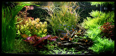 Hollandse bak (Aquascaping-blog.com) Tags: cryptocoryne nederlandsaquarium hollandsebak rodelotus