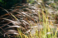 GLITTERING BRONZE (La Branaro) Tags: autumn plants ontario canada grass bronze 1 scenery fuji dof fallcolor bokeh superia olympus depthoffield 400 overexposed grasses shallow om superia400 om1 autumncolor northernontario 50mmf18 glittering zuiko50mm autumngold shotat100 richardslanding autumngrasses matthewsisland