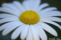 Daisy Flower (D. Photos) Tags: brooklynbotanicgarden shallowdepthoffield macrophotography daisyflower nikon105mmlens debbiephotos whitedaisyflower nikond7000camera brooklynbotanicgardenmacrophotography brooklynbotanicgardennature