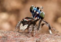 _MG_0153 peacock spider Maratus harrisi (Jurgen Otto) Tags: arachnid australia jumper jumpingspider salticid namadgi booroomba salticidae peacockspider maratus harrisi