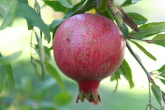 Scene from the SWS Farm: Pomegranate