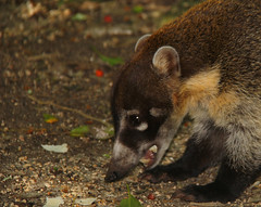 Guatemala - Naturaleza / Nature Tejon (Galeon Fotografia) Tags: animal guatemala animale tier tejon tierwelt ζώο животное hayop гватемала γουατεμάλα galeonfotografía
