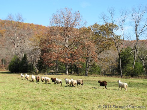 Rounding up the sheep surrounded by autumn color 9 - FarmgirlFare.com