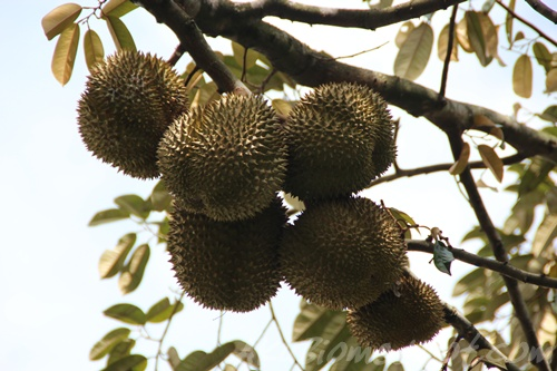 Buah Durian muda