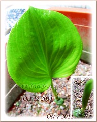 Proiphys amboinensis (Cardwell Lily): a seedling had emerged in October 7 2011