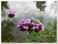 Purpletop verbena  (Mimi & Ivy) Tags: purpleflower purpletopverbena  shadesofviolet