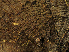 The Finest Textile (zxgirl) Tags: animal animals butterfly bug insect flash butterflies insects tortoiseshell bugs lepidoptera mybackyard arthropods animalia arthropoda s5 arthropod insecta nymphalidae dcr250 raynox mourningcloak nymphalis papilionoidea tortoiseshells brushfootedbutterflies nymphalinae nymphalisantiopa brushfootedbutterfly img2780 nymphalini