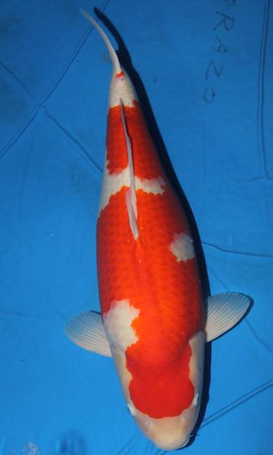 Torazo Kohaku 61cm