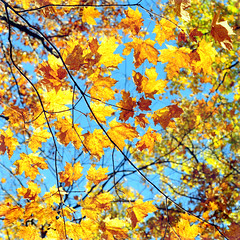 look up! (tonnyc) Tags: autumn sky fall leaves golden maple lookup tapestry