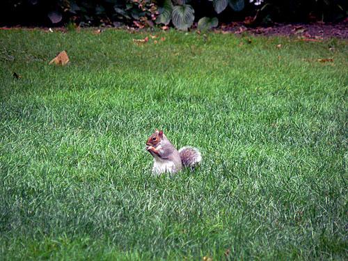 petit écureuil.jpg