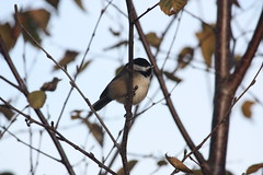 Black-capped Chickadee (S&B Photos) Tags: autumn plants canada color fall nature birds animal closeup forest canon lens eos rebel flying kent woods backyard bc harrison natural song finch chickadee capped marshland chilliwack rosedale cheam blackcapped agassiz 55250mm