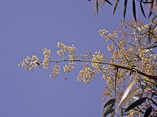 flor de aguaribay
