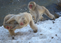 Judo? (Nov 7,2011 Explore) (Masashi Mochida) Tags: snow japan monkey nagano jigokudani