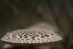 Bumpy Plateau (Djenzen) Tags: mushroom pointy hills fungi bumps spikes paddestoel punten heuvels