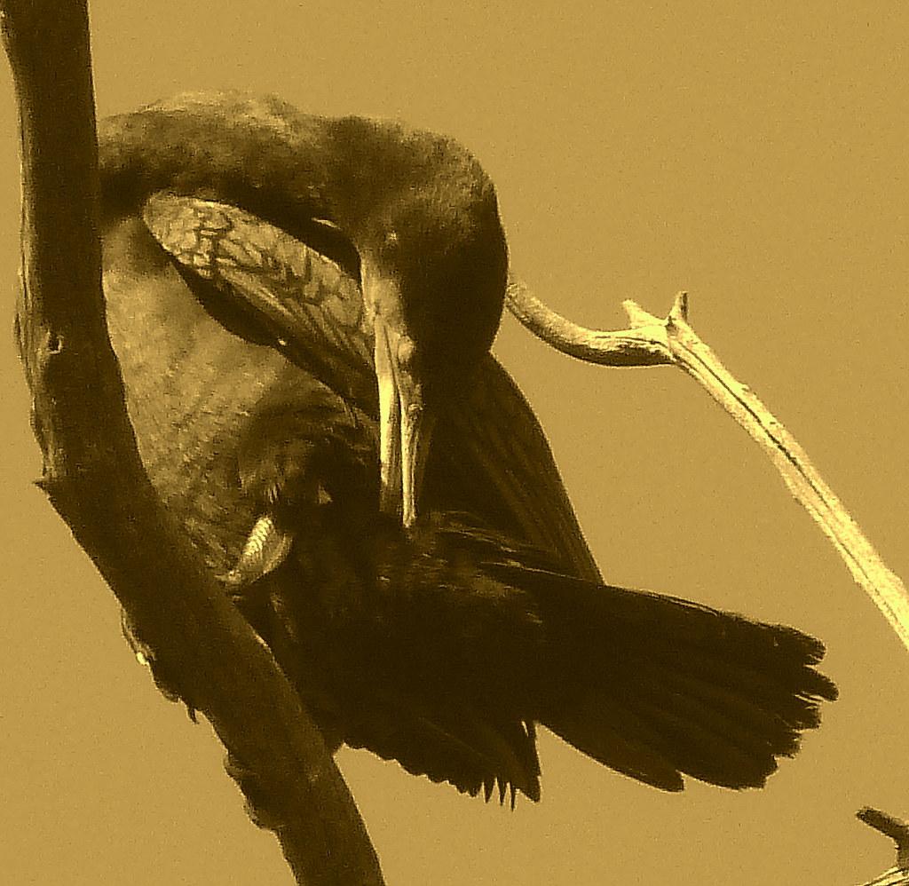 05-11-2011-cormorant