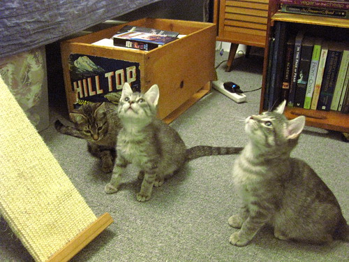 Three kittens. The two gray ones are intent on watching something in the air, while the brown one is looking down at the ground.