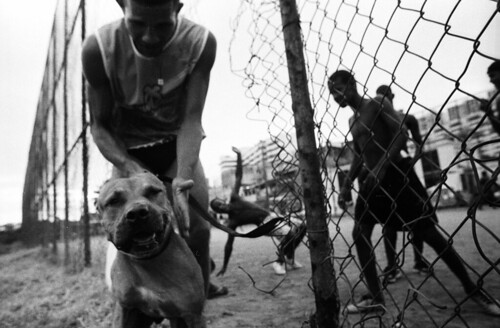pitbull_brazil
