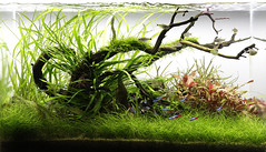 ryuboku (George Farmer) Tags: aquarium aquascape tropica aquascaping natureaquarium georgefarmer ukaps