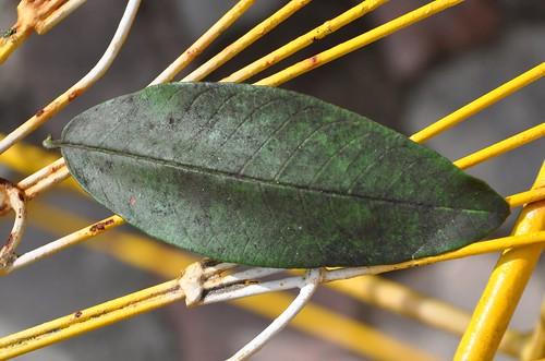 Guava_leaf2