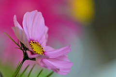 Last summer! (Rain-Bird) Tags: flowers flower macro nature up close cosmos bipinnatus