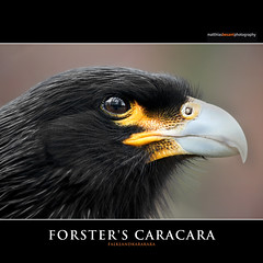 FORSTER'S CARACARA (Matthias Besant) Tags: portrait detail bird eye nature birds animal animals closeup fauna portraits deutschland tiere eyes hessen close view head tag details ngc natur feathers feather portrt raptor augen tageslicht auge australis blick farbig nahaufnahme raubvogel tier vogel schnabel voegel kopf aussen tierparkberlin feder tierreich kpfe federn sdamerika vertebrata karakara suedamerika tierportraits gefieder tierwelt aussenaufnahme portraet raubvoegel aussenaufnahmen tierportrait phalcoboenus wirbeltiere forsterscaracara landwirbeltiere landwirbeltier falklandkarakara wirbeltier portrt geierfalke kpfe sdamerika blinkagain falkenartig matthiasbesantphotography