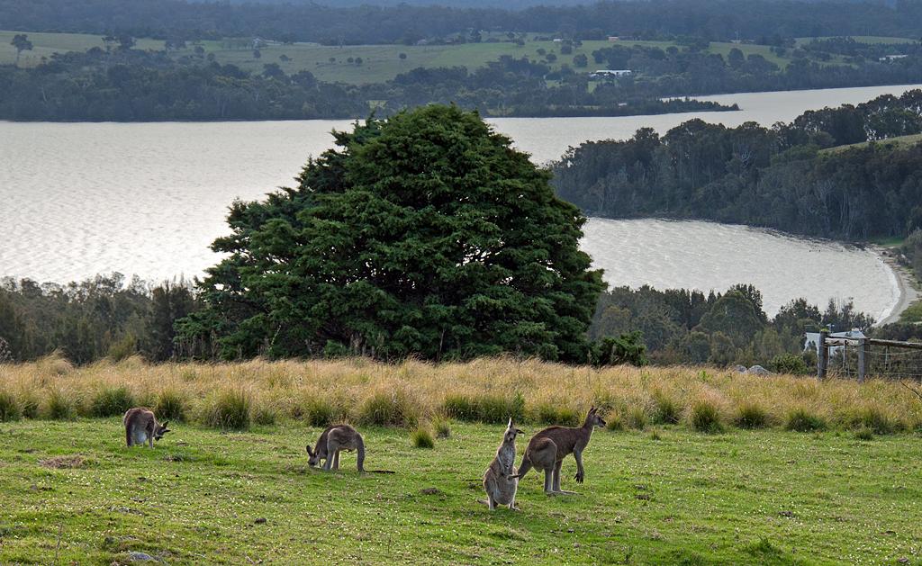 kangaroo_31102011_71-3