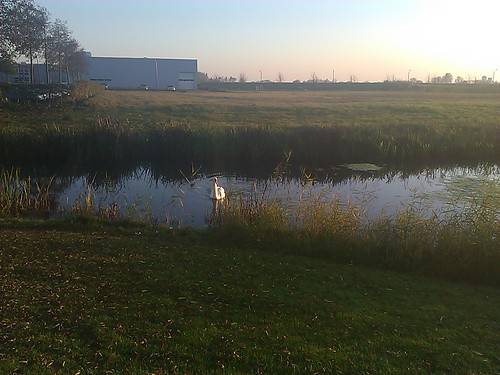 Swan in the pond near work
