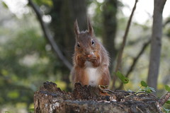 RED SQUIRREL (John Ambler) Tags: red nuts hazel mead isle wight alverstone squirrelfeeding