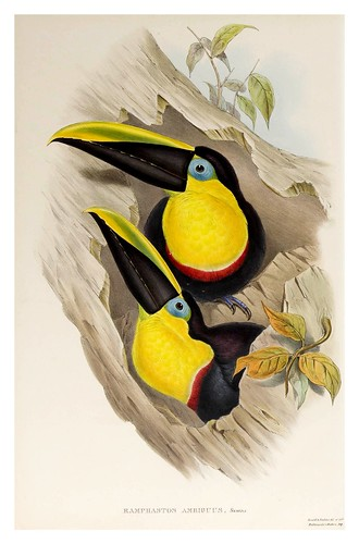 015- Tucan ambiguo-Supplement of the Ramphastidae or family of Toucans Gould John-1855