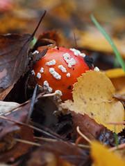 fruiting fly agaric (Johnson Cameraface) Tags: november autumn macro nature mushroom 50mm carr fly reserve olympus fungi toadstool f2 zuiko agaric pottericcarr doncaster fruiting 2011 zd yorkshirewildlifetrust potteric e620