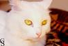 Floquinho-10-11 (Geraldo Stefano) Tags: gato gatobranco olharfelino geraldostefano