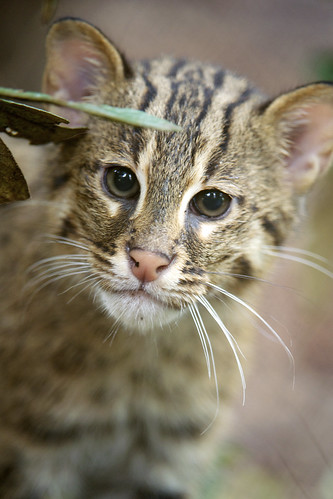 fishing cat looks under leaves